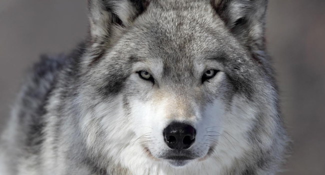 SCIENTIFIC NAME OF GRAY WOLF