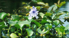What Is The Scientific Name Of Water Hyacinth? (ANSWER)