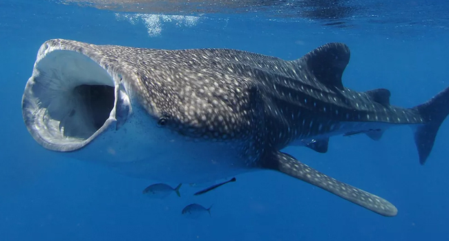 SCIENTIFIC NAME OF WHALE SHARK