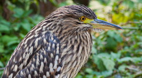 What Is The Scientific Name Of Rufous Night Heron? (ANSWER)
