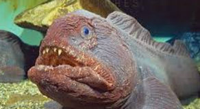 What Is The Scientific Name Of Bering Wolffish? (ANSWER)