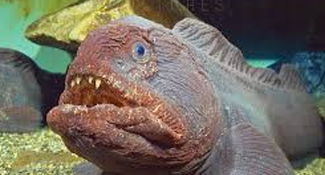 SCIENTIFIC NAME OF BERING WOLFFISH