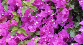 What Is The Scientific Name Of Great Bougainvillea? (ANSWER)