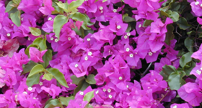 SCIENTIFIC NAME OF GREAT BOUGAINVILLEA