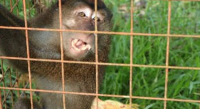 Philippine Long-Tailed Macaque Rescued By DENR