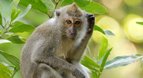 What Is The Scientific Name Of Philippine Long-Tailed Macaque?