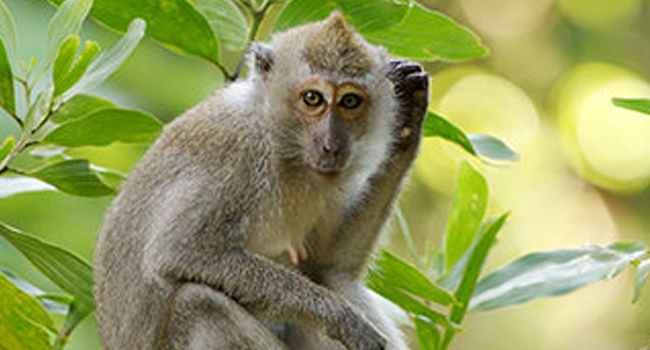 SCIENTIFIC NAME OF PHILIPPINE LONG-TAILED MACAQUE