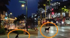 Adorable Dog Crossing the Road Using Pedestrian Lane Earns Praises Online