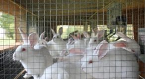 Rabbit Meat Used as Alternative in Pampanga Due to Soaring Pork Meat Prices