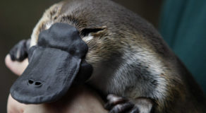 World's First Platypus Sanctuary To Be Built In Australia