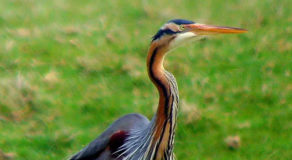 What Is The Scientific Name Of Purple Heron? (ANSWER)