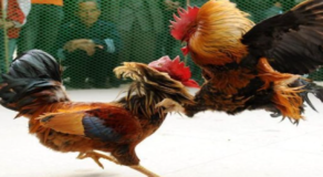 39 Individuals Arrested in an Illegal Cockfight Operation in Biliran