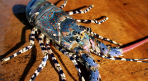 Australian Lobsters Threaten Chinese National Security – Hong Kong Chief